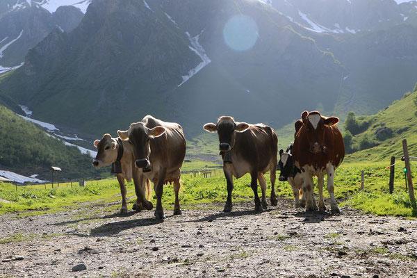 Zwei Kühe verbringen den Sommer auf der Alp Waldnacht in Attinghausen.