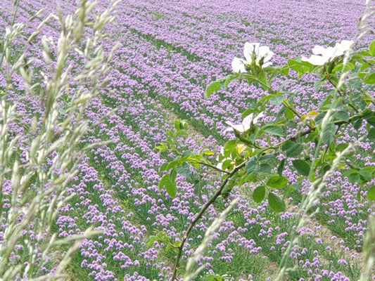In der Provence äähh Provinz (blühender Schnittlauch)