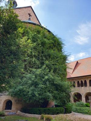 UNESCO Mariendom mit 1000-jährigem Rosenstock