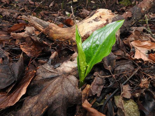 erste Blätter des Aaronstabs