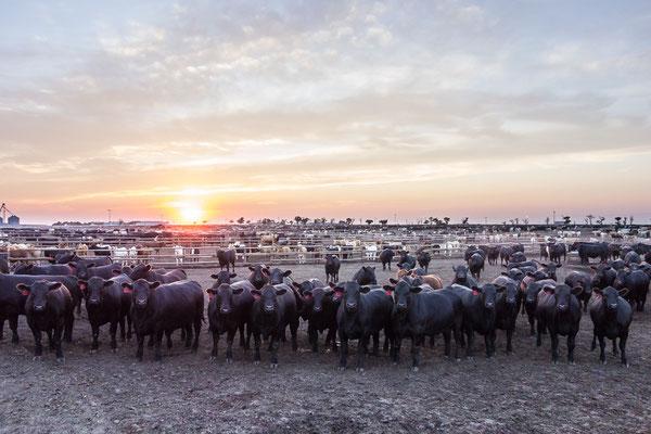 Hier wird Rindfleisch gemacht - ein typischer Feed Lot in Kansas, USA 6/2014
