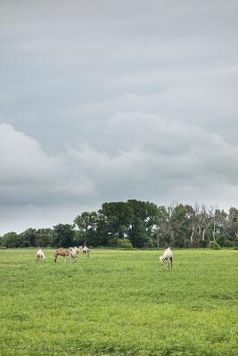 Kamele auf dem TransAmerica Trail. Kansas, USA 6/2014