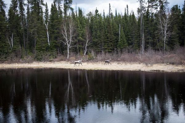 Endlich Elche! Und wir sind schon nicht mehr im Wild-Reservat... Quebec, Kanada 5/2014