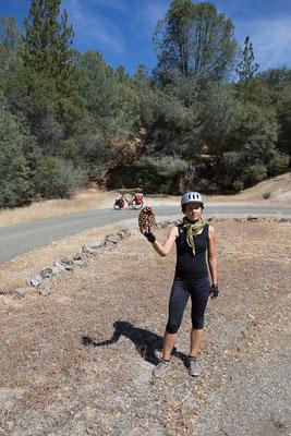 Ab sofort gibts Riesenzapfen und Weinberge. Kalifornien, USA 9/2014