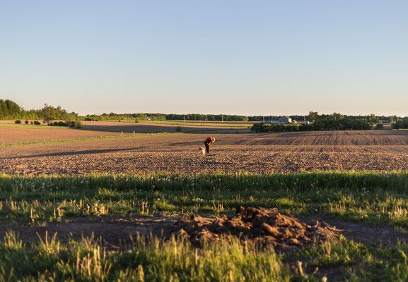 Zwei Wochen Wwoofen auf der Farm von Mapleton's Organic. Ontario, Kanada 6/2014