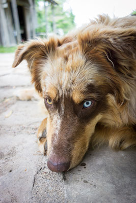 Bliss the farm dog. Ontario, Canada 6/2014