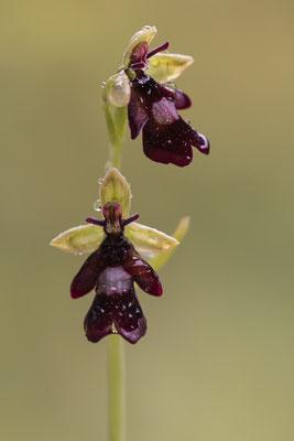Fliegen Ragwurz; Ophrys insectifera
