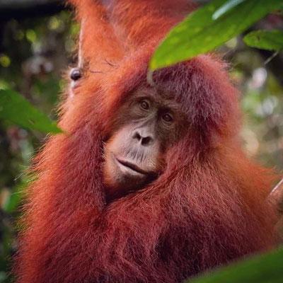 wild Orangutan in Ketambe