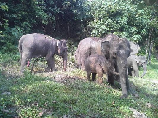 Elefanten in Tankahan