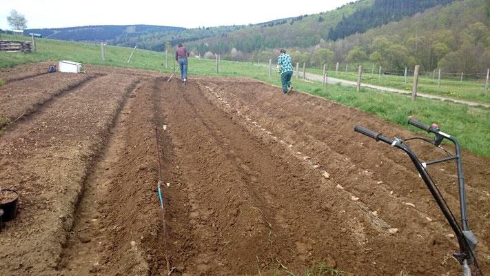 Die Saatkartoffeln werden gelegt.