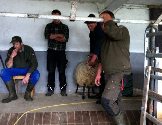 Das erste Schaf, verdeckt von den Helfern steht bereit