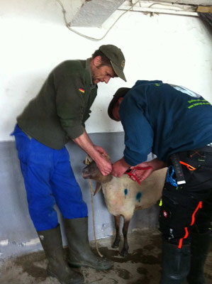Das junge Schaf erhält nach der Schur noch seine Ohrmarken