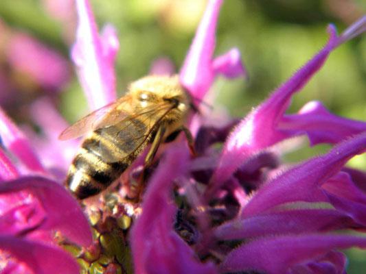 Das Wetter ist für die Biene. Es ist hochsommerlich warm