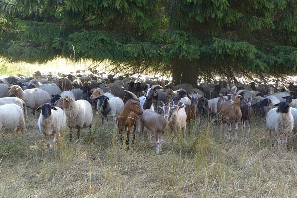 Schafe und Ziegen in der Landschaftspflege
