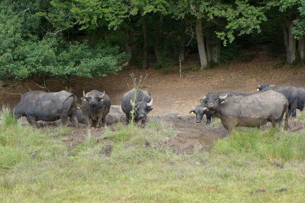 Unabdingbar; eine Suhle für Wasserbüffel