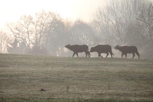 Wasserbüffel im Nebel