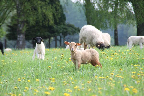 Erstes Grass für die jungen Lämmer