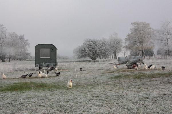 Die Hühner scheuen auch bei kaltem Wetter nicht den Auslauf!