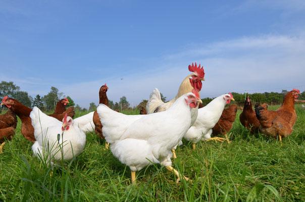Unsere Öko-Tierzucht-Hennen