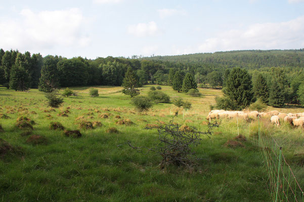 Schafe in der Landschaftspflege im Kaufunger Wald