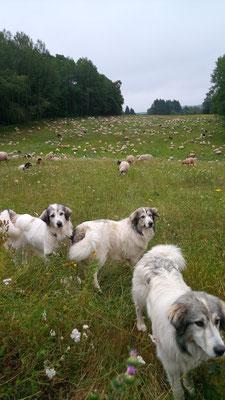 Herdenschutzhunde im Einsatz
