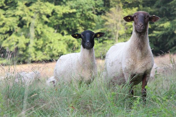 Schafe in der Beweidung