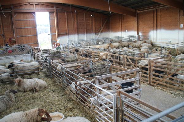 Lammzeit im Stall