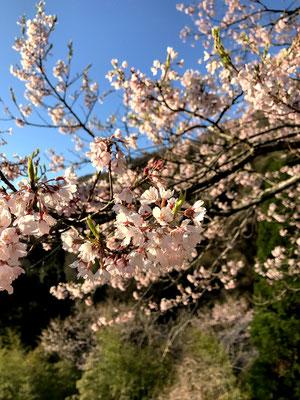 駒つなぎの桜の花