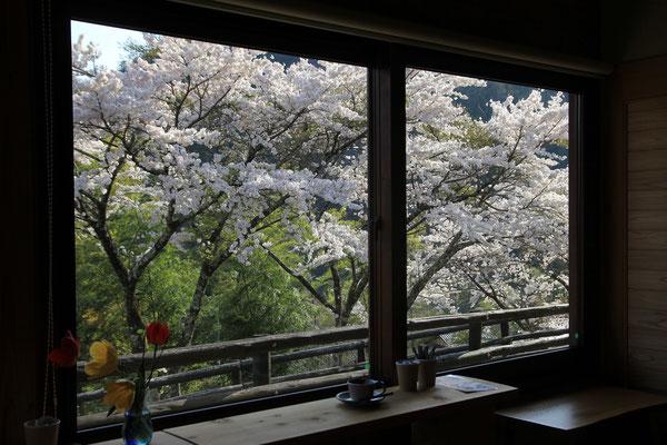 はゝき木館内のカフェほうきの木からの桜