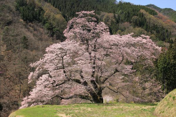 駒つなぎの桜 4月16日頃が満開でした