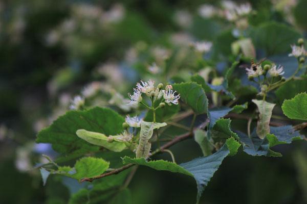 シナノキの花