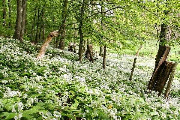 Bärlauchblüte- und Duft im Waltersbachtal