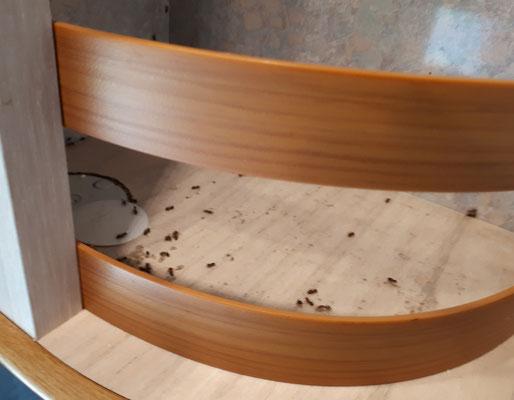 Böse Überraschung. Winzige Ameisen in mindestens zwei Schränken. Mist. Alles ausräumen undnauswischen und hoffen....