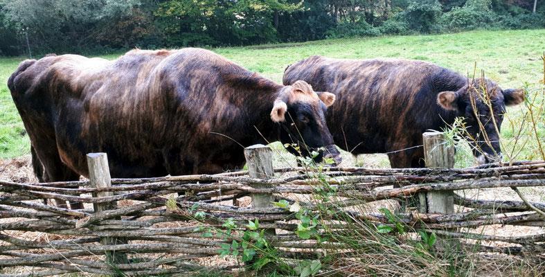 noch mehr Rindviecher, Islandrinder