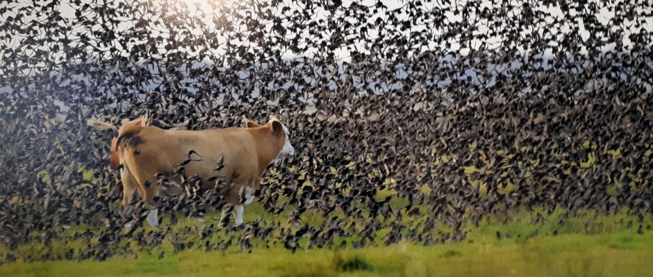 Swart Sol (Schwarze Sonne), Ein Naturschauspiel, wenn die Stare im Herbs zu ihren Schlafplätzen fliegen. Fotografiert in einer Ausstellung in Ribe