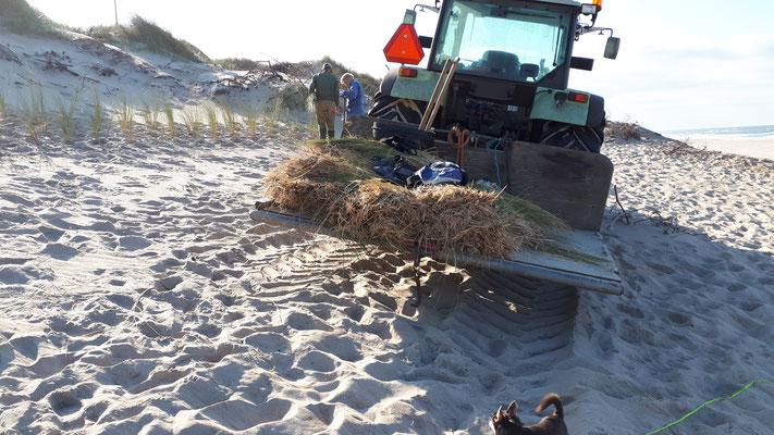 Dünenschützer pflanzen Strandhafer/Strandroggen