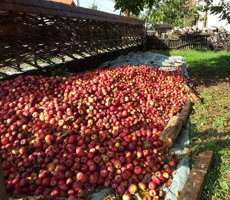 Die Äpfel warten darauf veredelt zu werden