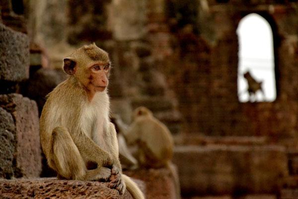 Cheeky Macaques at Lopburi