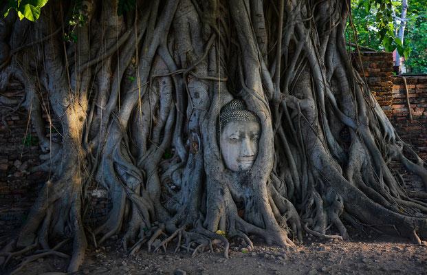 Buddha Head in a Tree at Wat Mahatat