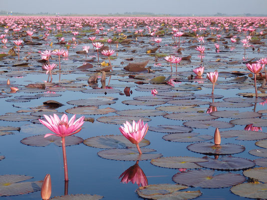 Pink Lotus on an Eco Tourism Trip