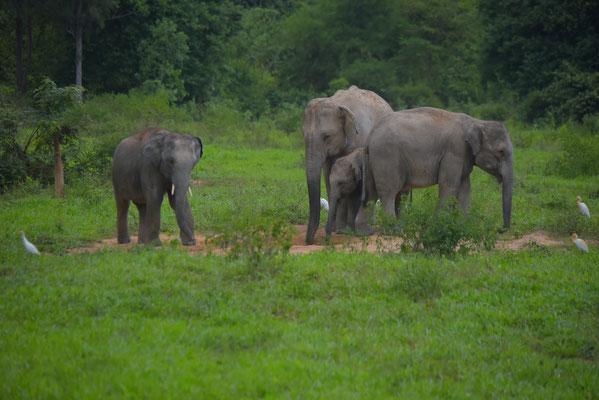Wild Elephants at Kuiburi National Park