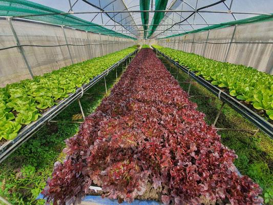 Organic Salad at Jaifa Farm