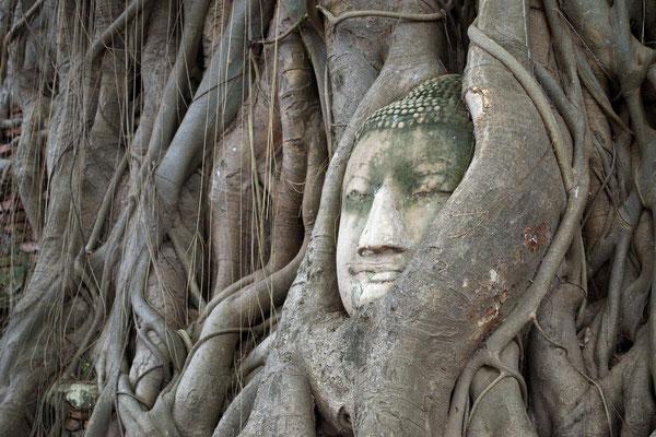 Buddha Head in Tree Roots at Wat Mahathat, Ayutthaya