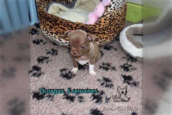 Chiot Chihuahua à 6 semaines