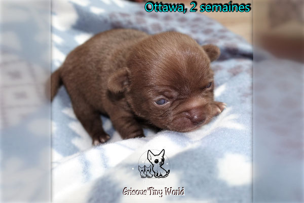 Chiot Chihuahua chocolat à 2 semaines