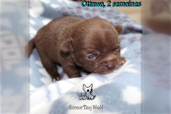 Chiot Chihuahua chocolat à 2 semaines