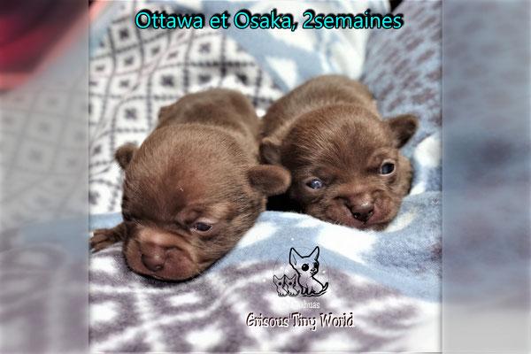 Chiots Chihuahua à 2 semaines