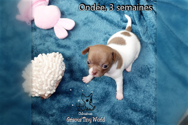Chiot Chihuahua, 4 semaines