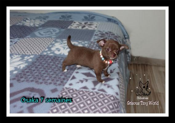 Chiot Chihuahua, Femelle Chihuahua, Chihuahua chocolat