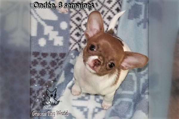 Chiot Chihuahua chocolat et blanc, chihuahua femelle
